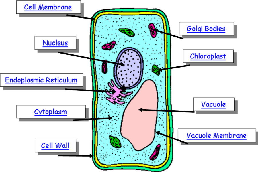 Pics Photos - Simple Plant Cell Diagram With Labels